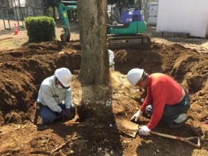 既存樹木の根巻き