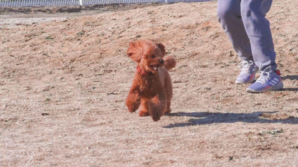 小型犬が走る